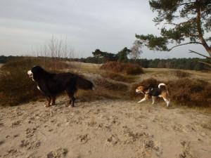 Lekker wandelen met de groep in de duinen... Bobby geniet enorm van de Soesterduinen waar ie lekker kan rennen en snuffelen..